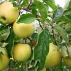 Белголден – ябълки за съхранение