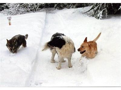 Президентът Георги Първанов показа във фейсбук любимците си - лабрадора Аксел (вдясно), каракачанската овчарка Балкан и вълчицата Зорница.