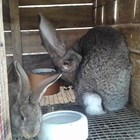 Простудените зайци кихат често и са хремави