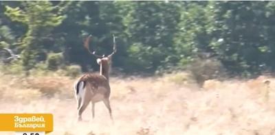 Благородният елен станал част от стадо крави Кадър: Нова тв