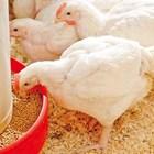Витамин Е повишава ефективността на ваксинацията на домашните птици
