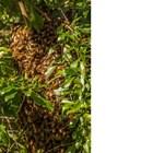 Разлетелите се роеви пчели се събират около пчелната майка във форма на плътно кълбо или грозд. Внимание! Това е подходящият момент, в който роят трябва да се хване и да се засели в предварително подготвен кошер.