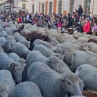 Овце вместо коли задръстиха централните улици на Мадрид (Видео)