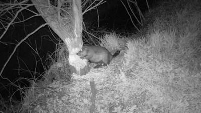 Нощна снимка на бобър, който грие дърво. Направена е с фотокапан. СНИМКИ: ЛИЧЕН АРХИВ НА Д-Р НИКОЛАЙ КОДЖАБАШЕВ