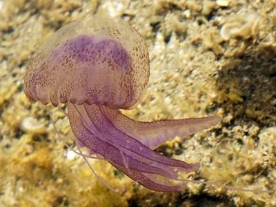 Жилещата медуза Pelagia noctiluca.