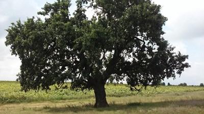 Дървото в Звенемир     СНИМКА: РИОСВ - Русе