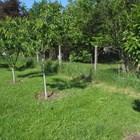 Подхранване и поливане на овощните дръвчета