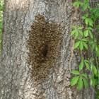 """Изследователи смятат че са открили първата по рода си """"ваксина"""" за пчелите, получена от неочакван източник - гъби. По-конкретно - това е мицелия - гъбични мембрани, подобни на паяжина."""