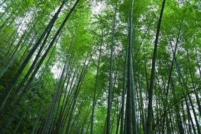 Китай разполага с над 6,67 млн. хектара бамбукови гори