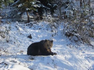 Рядко някой от обитателите на мечия парк не спи зимен сън.