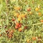 Подмладете и подхранете най-ранните домати