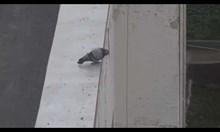 Гълъб самоубиец