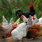 За повече яйца в полога приготвяйте смески от зърнени фуражи