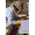 Болните пчели майки намаляват яйценосната дейност и представляват сериозен източник на инфекцията поради факта, че дефекират само в кошера.