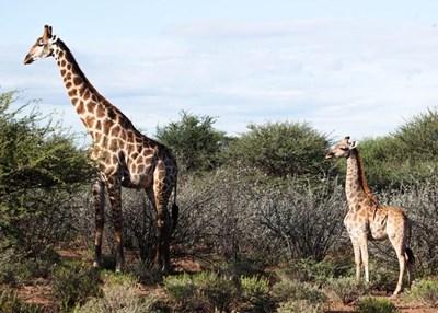 Жирафи-джуджета Снимка: Туитър/Facts East Africa