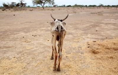 Изтощена крава се разхожда в открито поле в село Гелча, един от най-засегнатите от сушата райони в Етиопия. СНИМКА: РОЙТЕРС