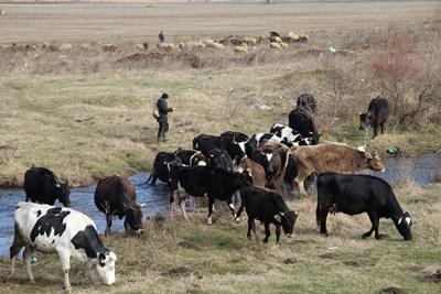 """""""Български фермер"""": България селектира екокрави с по-малко метан"""