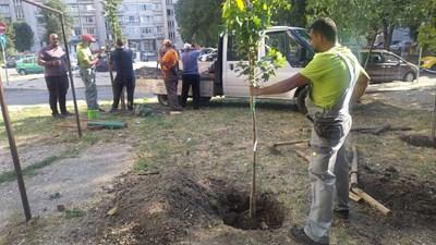 100  млади дръвчета ще бъдат засадени през седмицата на различни места в Бургас.