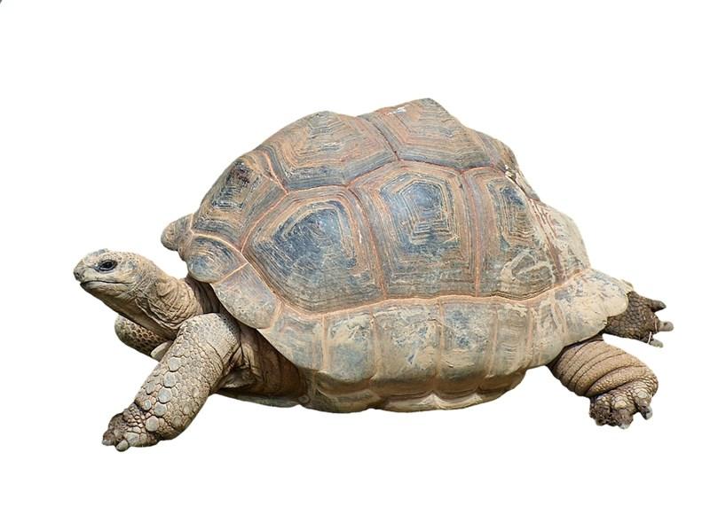 Костенурката е най-дълголетното живо същество.