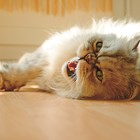 Кога котката се разгонва за първи път?