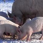 След 3-ия ден от опрасването може да пускате свинята майка навън, но без прасенцата! А бозайничетата могат да излизат с майките си след 15-дневна възраст, и то при температура на въздуха 15 градуса С.