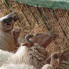 Заплождането на овцете продължава