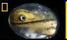 Израстването на саламандър от една клетка до развит организъм