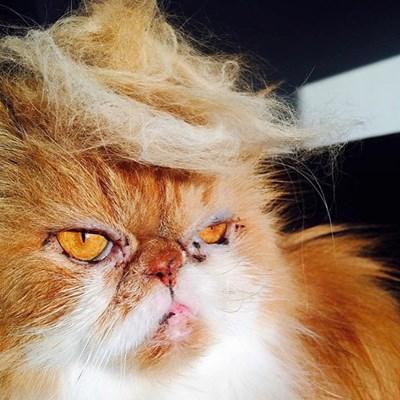 Новата  мания на американците е да решат котките си като Доналд Тръмп.  СНИМКИ: АРХИВ
