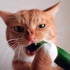 Котката Лисанка, която си пада по краставици