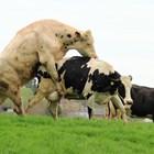 Минусите на естественото заплождане на кравите са повече от плюсовете