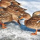 Избрете вариант за хранене на патици