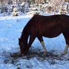 Предварителната ообработка на фуража зависи от възрастта на коня