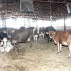 В новата ферма Тодор Ванев е осигурил на дойните крави си крави комфортни условия