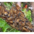 Листогризещи гъсеници - да не се подценяват