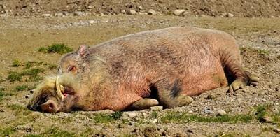 Дива свиня Снимка: Пиксабей