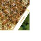 За пълноценно използване на строителния инстинкт на пчелите трябва да се поставят рамки с восъчни основи за градеж.