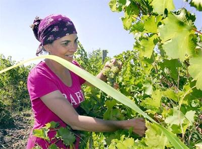 Гроздето тази есен в Южна България достигна 30% захарност. СНИМКА: Атанас Кънев