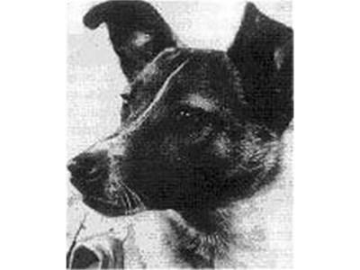 Кучето Лайка СНИМКА: Уикипедия