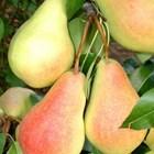 Популярни сортове круши за градината