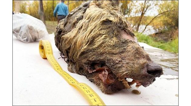 Чудовищен вълк на 40 000 г. открит в Сибир
