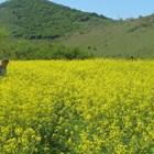Съвсем скоро рапицата ще цъфне, важно е посевите да се запазят в добро състояние Снимка: Ваня Велинска