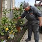 Таня Енева показва различните сортове лимони, които отглежда в двора си. Снимки: Авторът