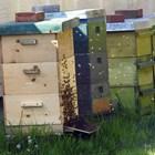 Пренаселеността в пчелното гнездо и бездействието на пчелите в него са причина за изпадане в роево състояние. Пчелите подготвят основи за маточници, принуждават пчелната майка да снесе яйца в тях и я изоставят -  не я хранят с пчелно млечице.