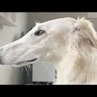 Куче с 31-сантиметров нос стана интернет звезда (Видео)