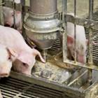 Цитрусов екстракт в дажбата на отбитите прасета замества антибиотиците