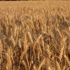 Твърдата пшеница - традиционнаи доходна земеделска култура