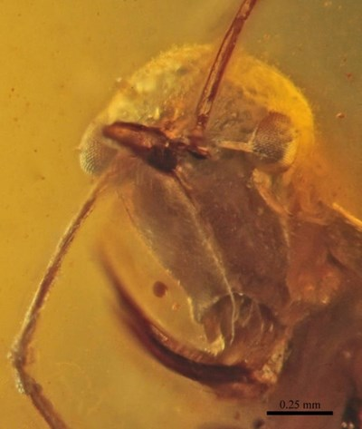 Палеонтолози откриха кехлибар на 99 милиона години с представител на отдавна изчезнали предшественици на мравките, който е впил челюсти в жертвата си. Снимка: Wikimedia Commons
