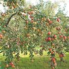 Какви да са торовите норми за подхранване на овощни дръвчета