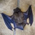 Палеонтолози откриха останки от последния гигантски прилеп-вампир