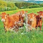 """При ротационната паша до юли стадата трябва бързо да се преместват през парцелите, за да """"изрязват"""" върховете на всичко, което задържа началото на новите стадии на растеж на репродуктивните органи на растенията"""